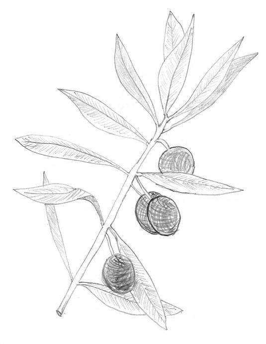 Frantoi - Olive Branch