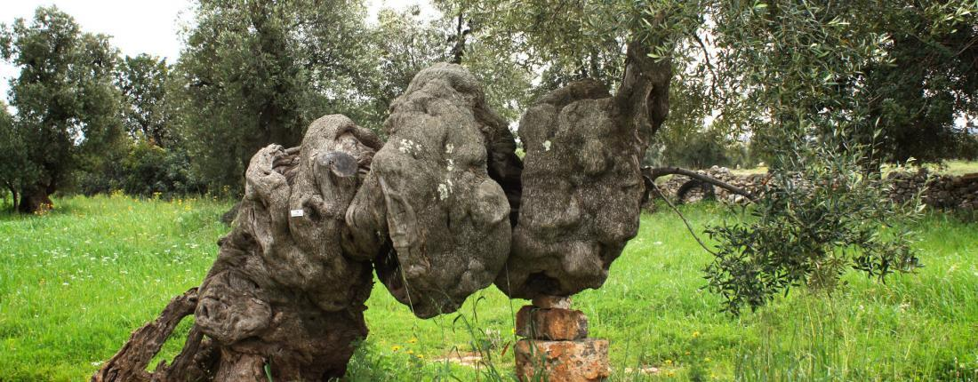 Frantoi - The Cultivated Olive Tree