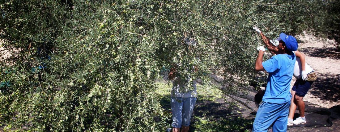Frantoi - olive picking