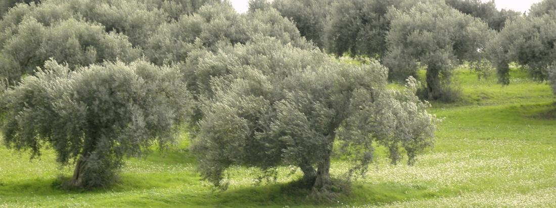 SICILIAN OLIVE CULTIVARS: FRANTOI CUTRERA