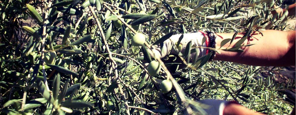 The 2016 olive harvest for Frantoi