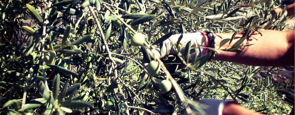 The 2016 olive harvest for Frantoi